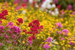 irish_wildflowers_4516.jpg
