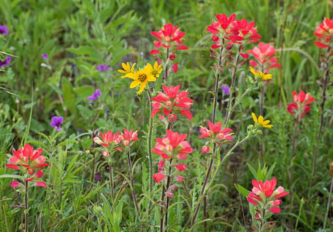 Texas-Wildflower-Mix_art.jpg