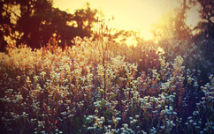 wildflowers-in-the-sunset-photography-hd