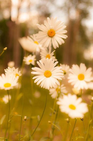 Fresh daisies