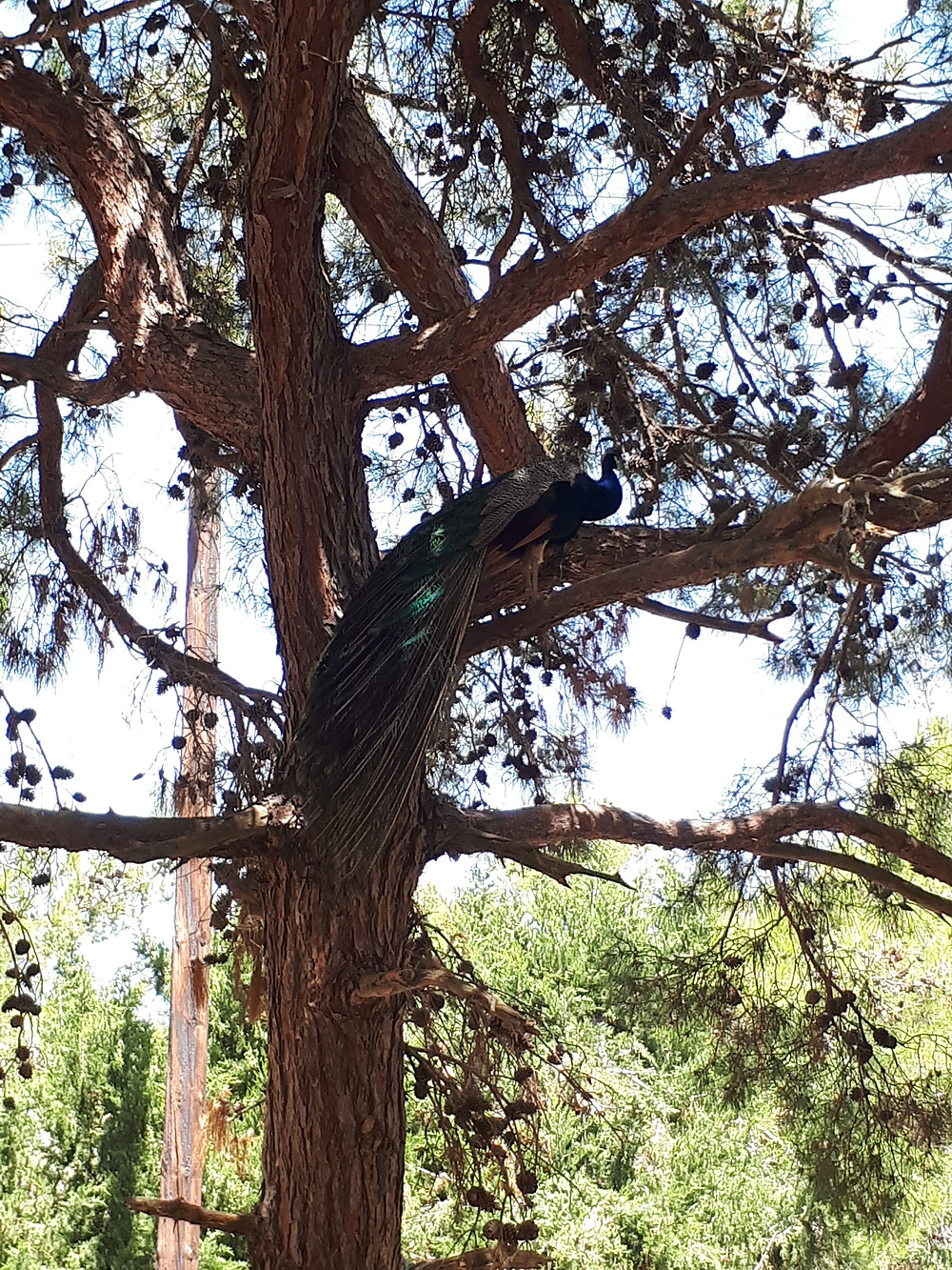 Peacock in Plaka forest
