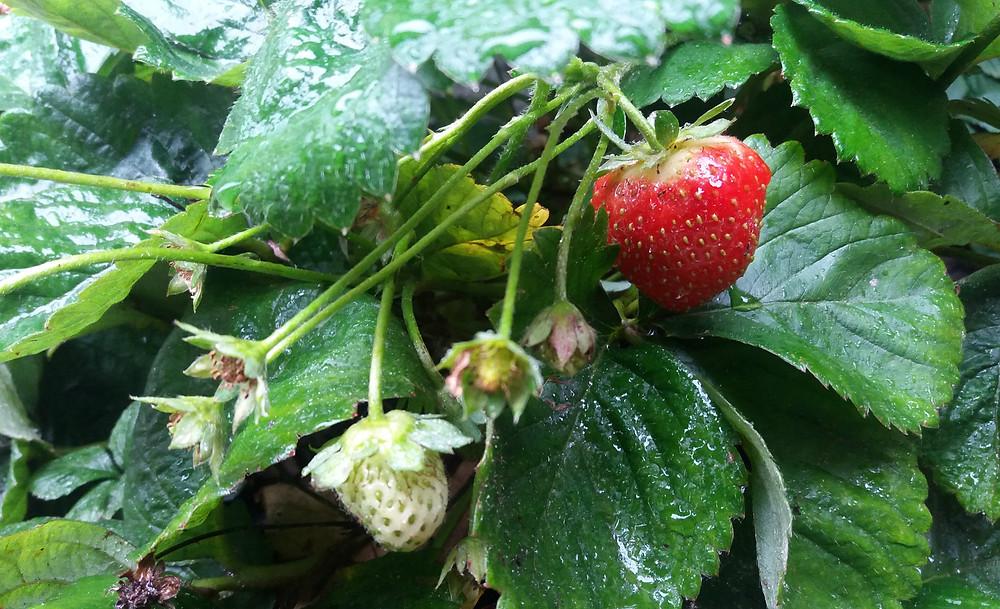 Verse aardbeien uit de tuin