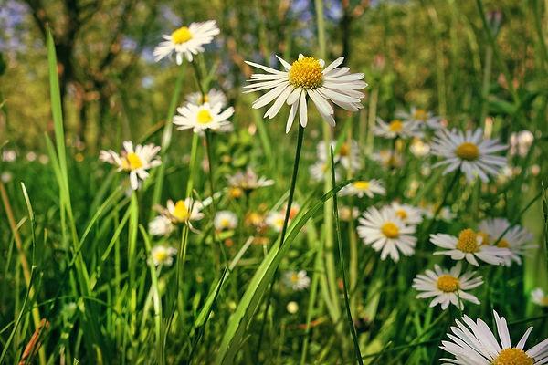 common-daisy-3407504_960_720.jpg
