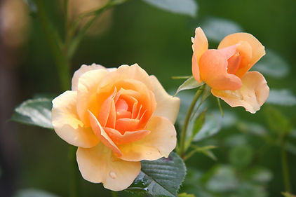 rose-616013_1920.jpg