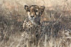 cheetah-2042458_1920
