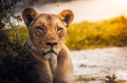 lion-2263345_1920