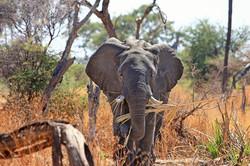 elephant-518186_1920