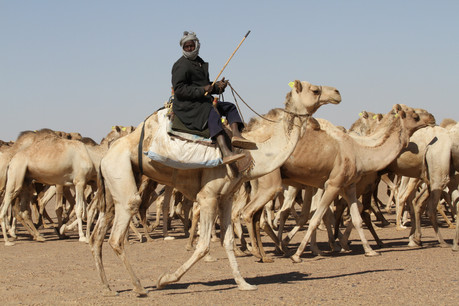 A camel caravan on its way from Sudan to the livestock market to the north in Egypt