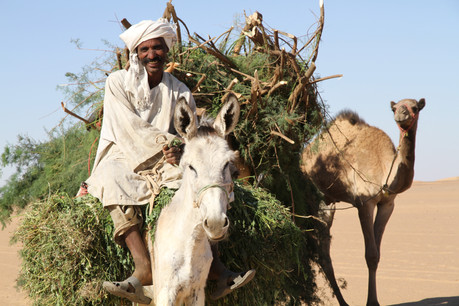 A desert nomad returns to camp with firewood loaded on his cart