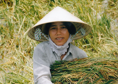 A field worker collecting in the rice crop