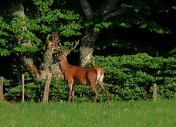 cerf (Bois d'Arjaloux)