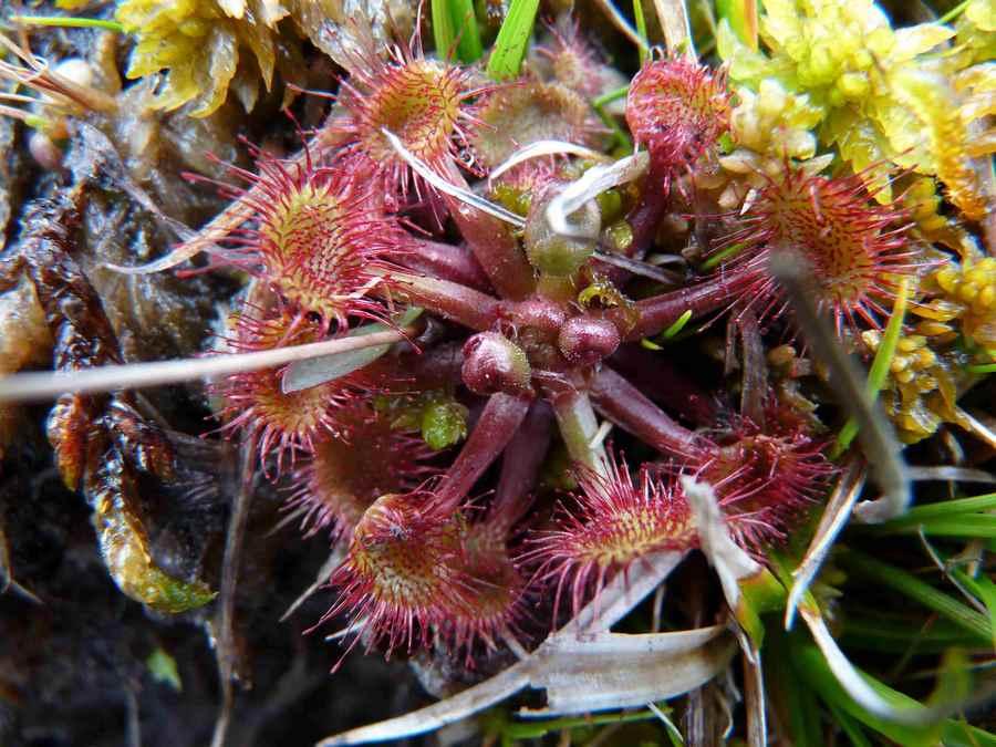 Rossolis à feuilles rondes (ou Droséra)