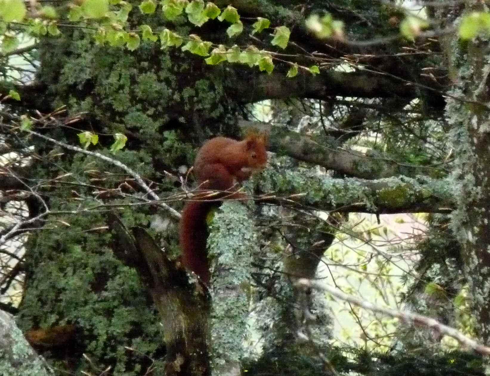 Écureuil roux (Bois de Bélinay)