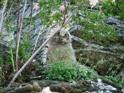 Hibou grand duc (jeune sur le nid)