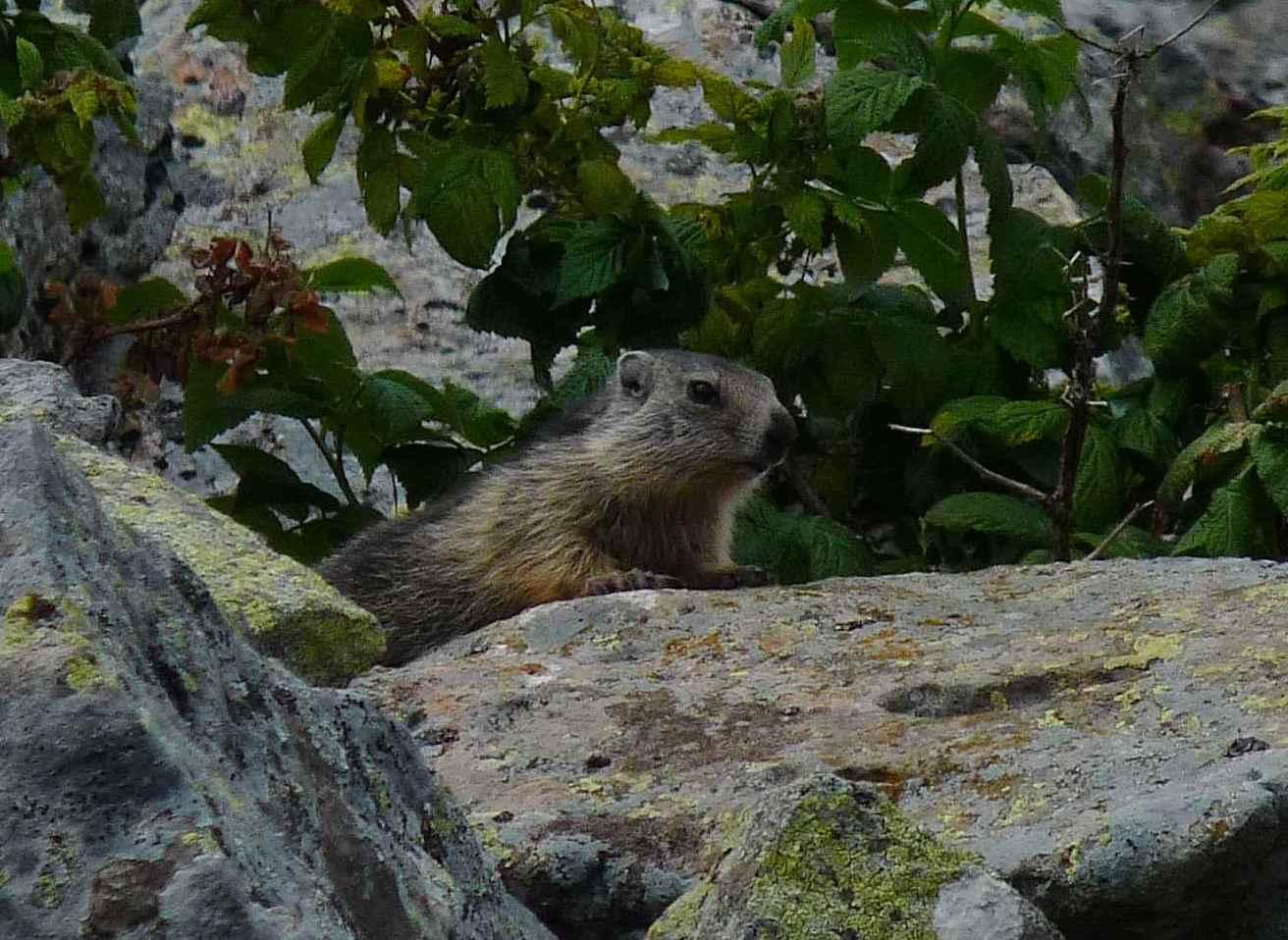 Marmotte juvénile (Puy de la Belle Viste