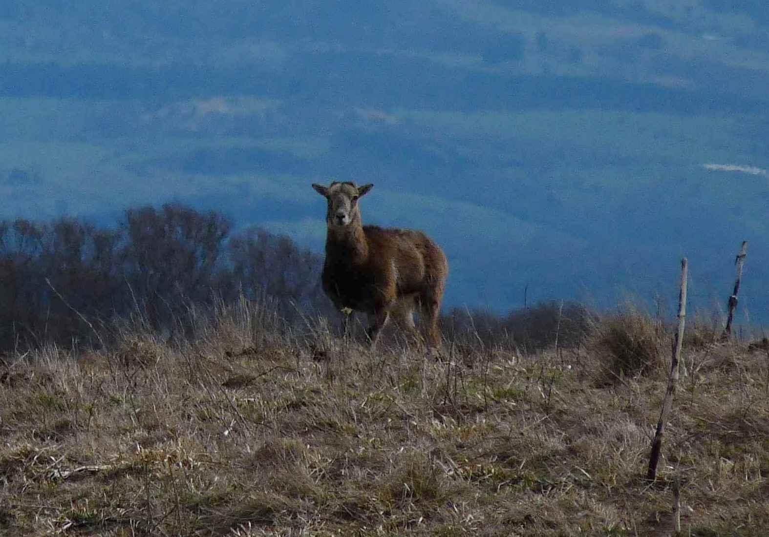 Mouflon femelle (Montagne des Charoques)