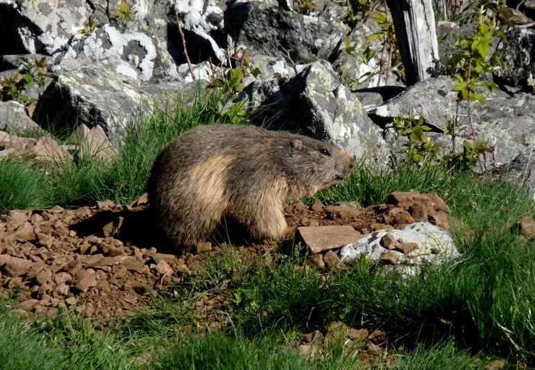 Marmotte adulte (Les Eschamps)