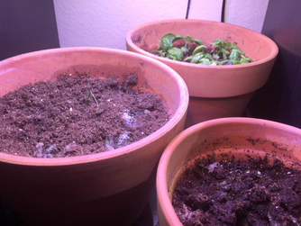 Herbs: they grow up so fast!