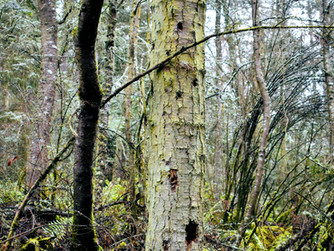 Snag trees and why we need them