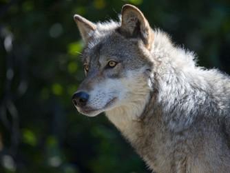 Episode 6: Wolves