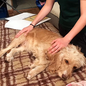 Canine massage, dog massage