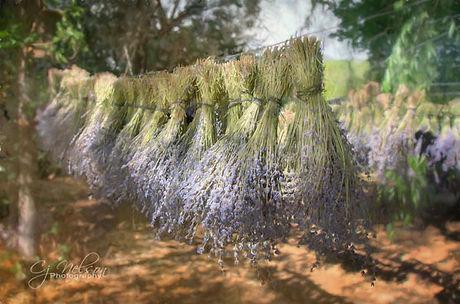 lavander, lavender bundles drying in the shade.   Herbs, Flowers, purple, fields, scent