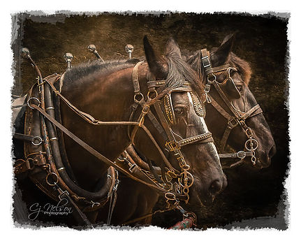 Horse team, pulling a wagon, Matched horses, horses.  Harness team
