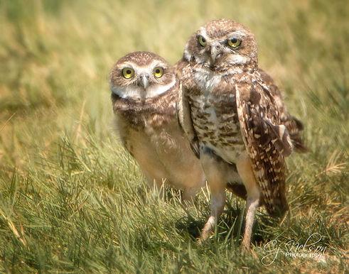Burrowing Owls, Birds of prey, nesting ground owls.