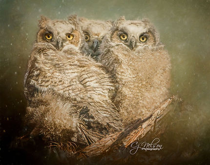 Great Horned Owlettes, Baby owls, Great Horned Owl, Owls, Baby Owls.
