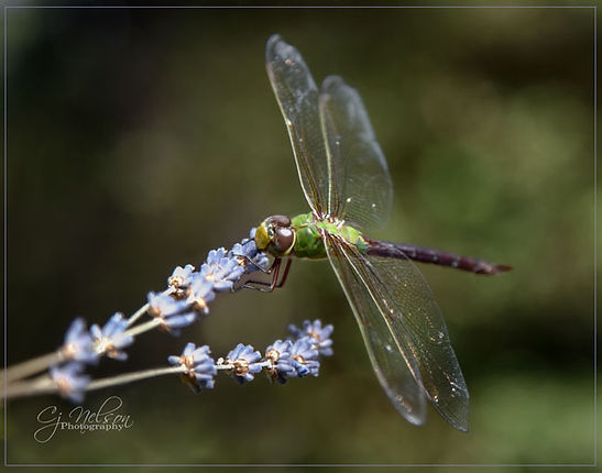 Dragonfly, dragofly on lavender, Insects, Dragon Fly
