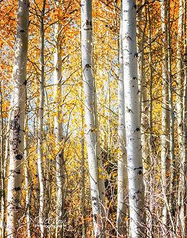 Hope Valley Aspens Hwy 88 Sierra Mountains