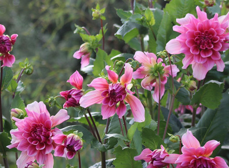 Dahlias and damsons