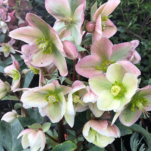 A lovely spot of hellebore shopping this