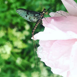 This beautiful May fly was sheltering fr