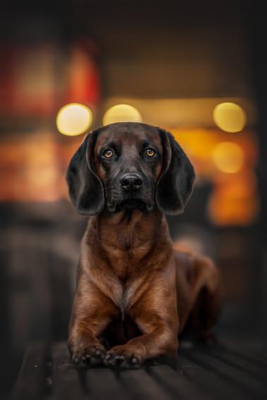 Belgischer Gebirgsschweißhund City Dog Shooting Schwerin