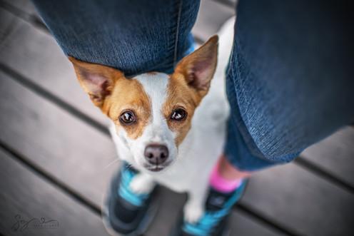 Jack Russel Hundefotografin Sara Glawe