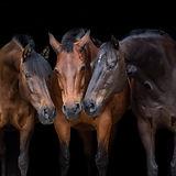Pferde vor schwarze Hinergrund Gut Vorbeck