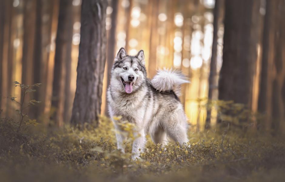 KanadischerSchlittenhund12