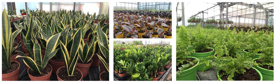 Широкий ассортимент комнатных растений в Тимирязевском Питомнике