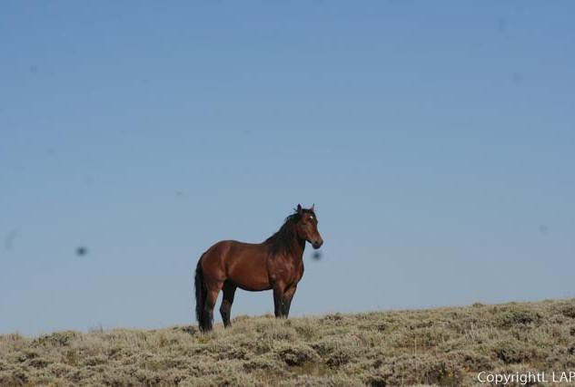Lone wild horse