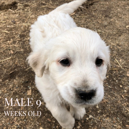Male puppy at 9 weeks