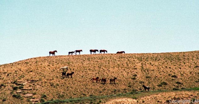Mustangs on the ridge