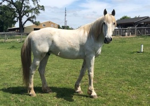 Beau   Trail Horse   Needs Experienced Rider
