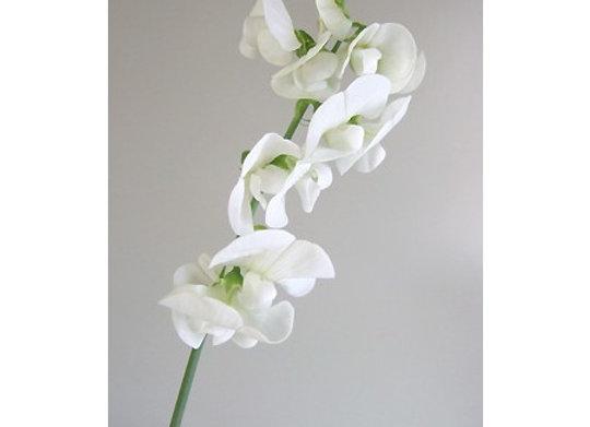 Sweet Pea Hybrid White