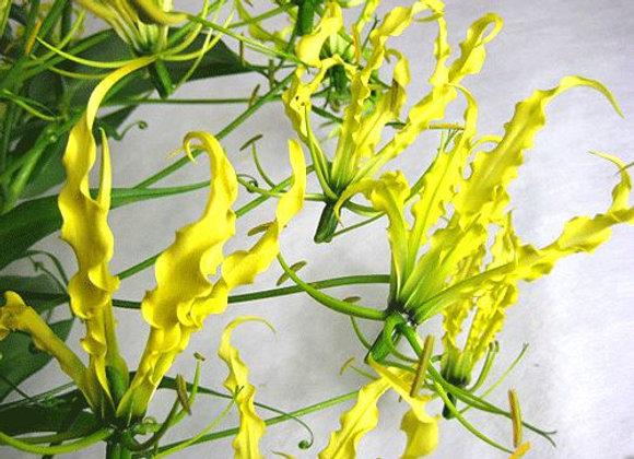 Lutea Gloriosa Yellow