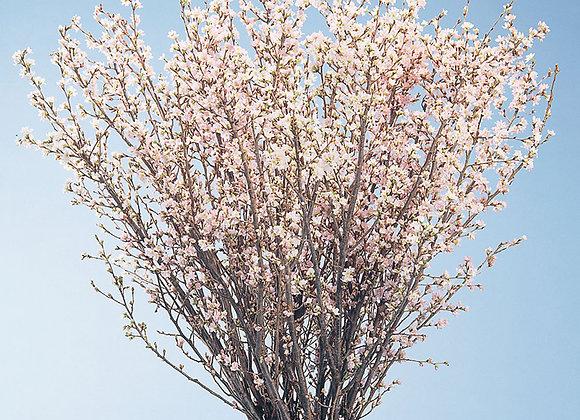 Keiou Sakura