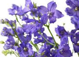 Delphinium Spray Lavender