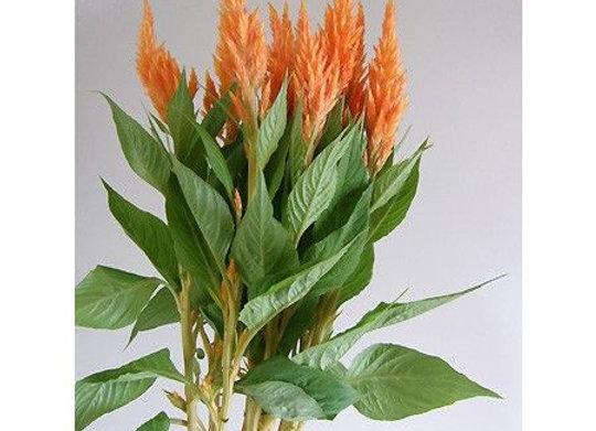 Keitou Apricot Brandey orange