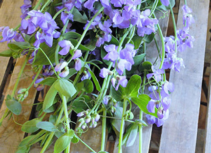Sweet Pea Hybrid Blue Frengance