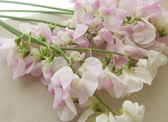 Sweet Pea Hybrid Light Pink